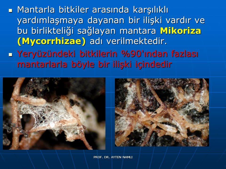 Mantarla bitkiler arasında karşılıklı yardımlaşmaya dayanan bir ilişki vardır ve bu birlikteliği sağlayan mantara Mikoriza (Mycorrhizae) adı verilmekt
