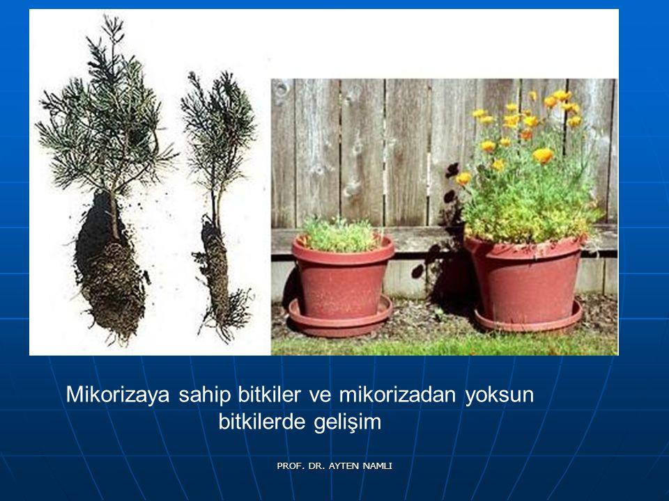 Mikorizaya sahip bitkiler ve mikorizadan yoksun bitkilerde gelişim PROF. DR. AYTEN NAMLI