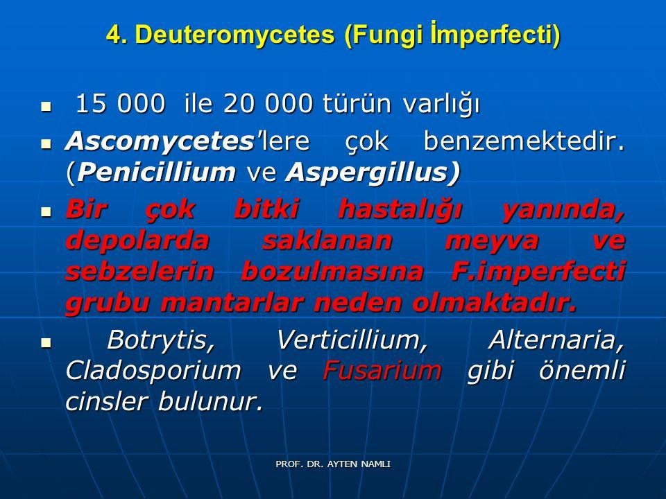 4. Deuteromycetes (Fungi İmperfecti) 15 000 ile 20 000 türün varlığı 15 000 ile 20 000 türün varlığı Ascomycetes'lere çok benzemektedir. (Penicillium
