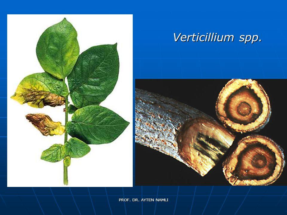 Verticillium spp. PROF. DR. AYTEN NAMLI