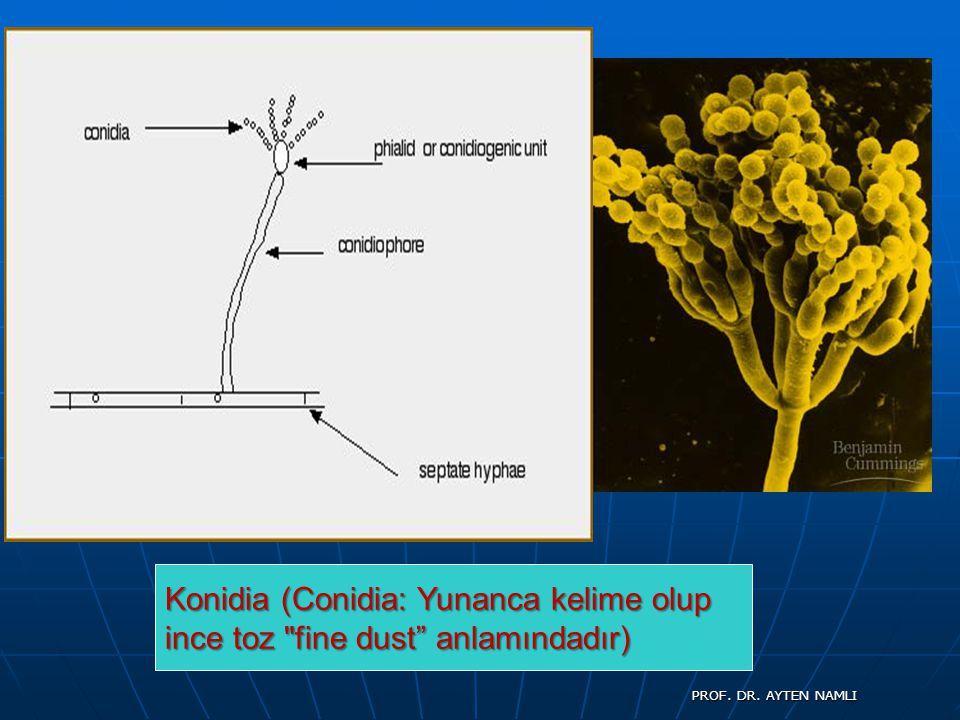 Konidia (Conidia: Yunanca kelime olup ince toz