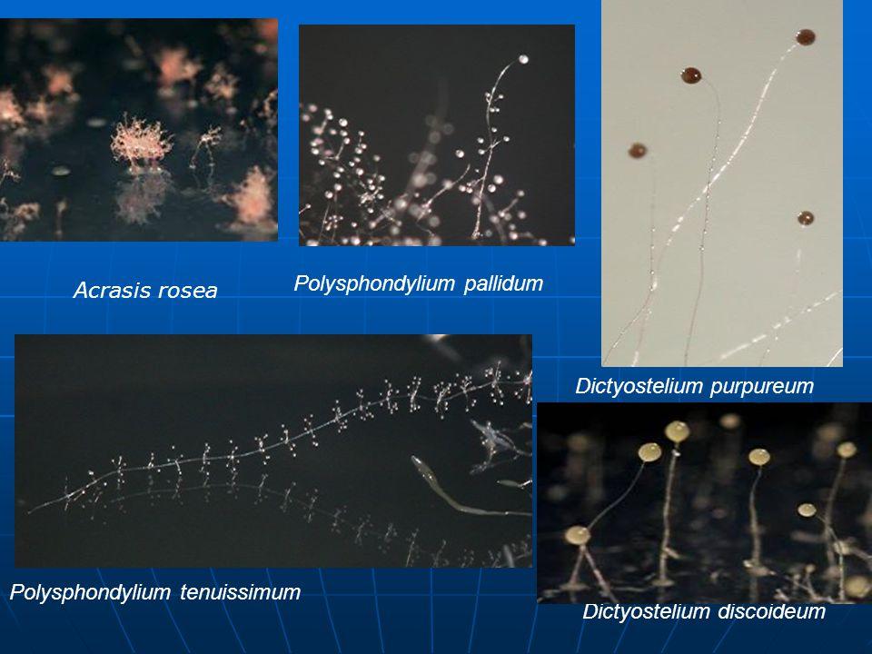 Acrasis rosea Polysphondylium pallidum Polysphondylium tenuissimum Dictyostelium purpureum Dictyostelium discoideum