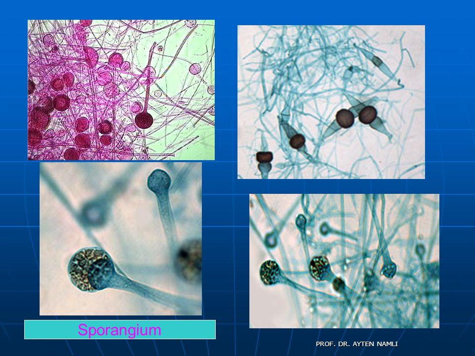 Mantarların şekli, büyüklüğü, strüktürü ve kültürel özellikleri taksonomide önemli olup, bakterilerin tersine mantarlar morfoloji esas alınarak etkin bir şekilde cins ve tür ayrımı yapılabilir.