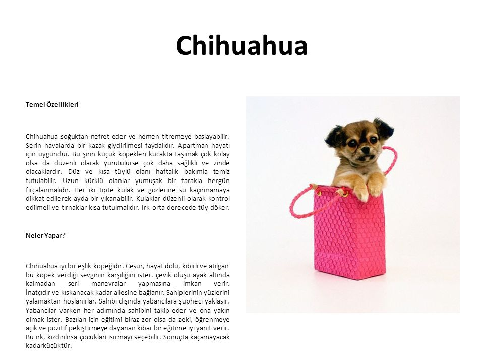 Chihuahua Temel Özellikleri Chihuahua soğuktan nefret eder ve hemen titremeye başlayabilir. Serin havalarda bir kazak giydirilmesi faydalıdır. Apartma