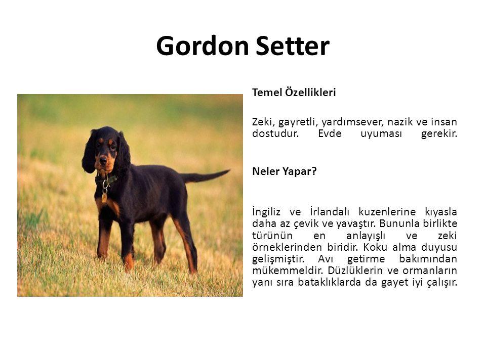 Gordon Setter Temel Özellikleri Zeki, gayretli, yardımsever, nazik ve insan dostudur. Evde uyuması gerekir. Neler Yapar? İngiliz ve İrlandalı kuzenler