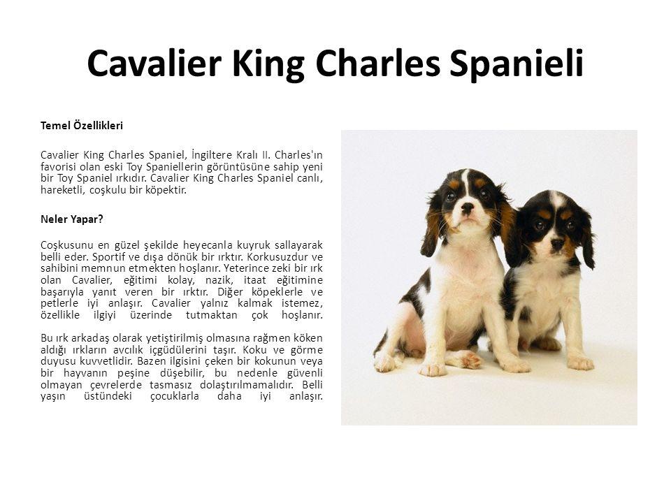 Cavalier King Charles Spanieli Temel Özellikleri Cavalier King Charles Spaniel, İngiltere Kralı II. Charles'ın favorisi olan eski Toy Spaniellerin gör