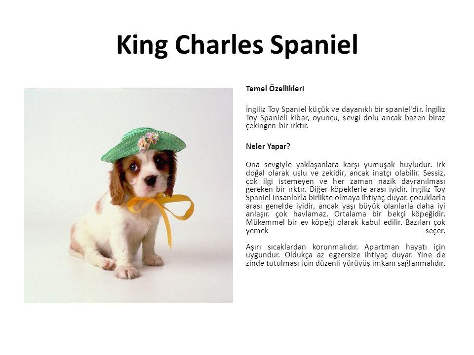 King Charles Spaniel Temel Özellikleri İngiliz Toy Spaniel küçük ve dayanıklı bir spaniel'dir. İngiliz Toy Spanieli kibar, oyuncu, sevgi dolu ancak ba