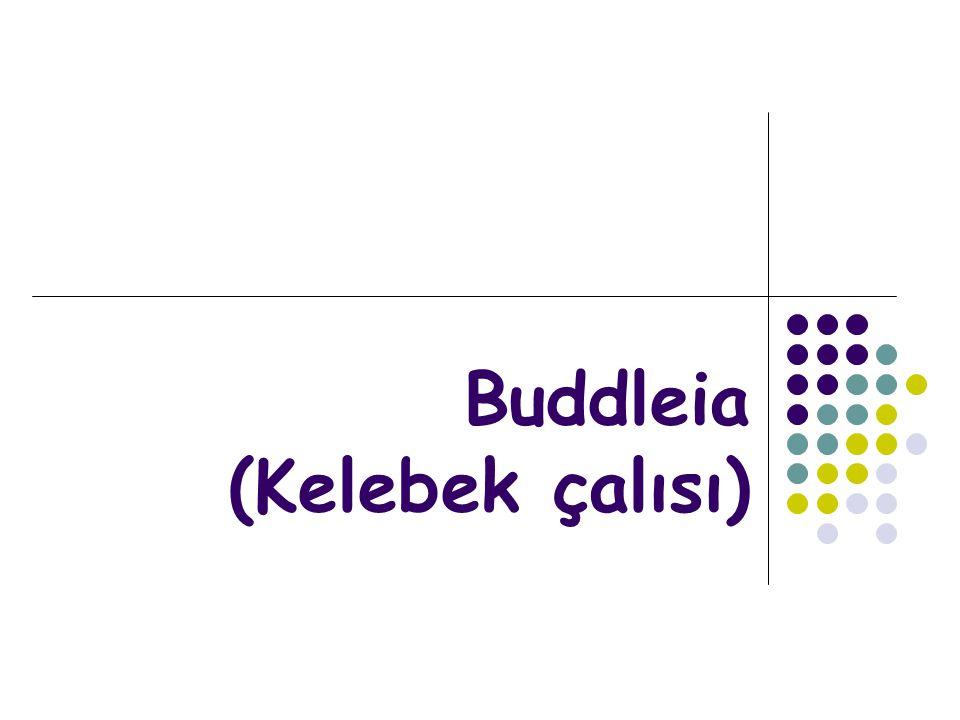 Buddleia davidii (Kelebek çalısı) Bitkisinin Peyzajda Kullanımı Değerli bir çalı bitkisi olup hoş bir kokusu vardır.Park ve bahçelerde soliter, grup veya diğer türlerle kullanılabilir.