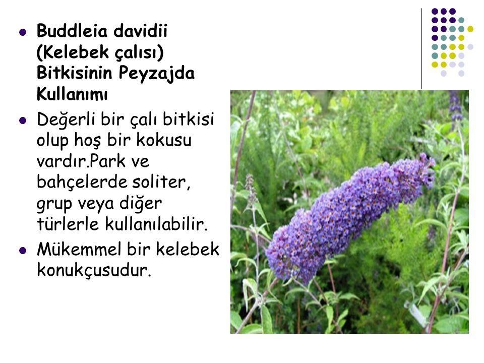 Buddleia davidii (Kelebek çalısı) Bitkisinin Peyzajda Kullanımı Değerli bir çalı bitkisi olup hoş bir kokusu vardır.Park ve bahçelerde soliter, grup v