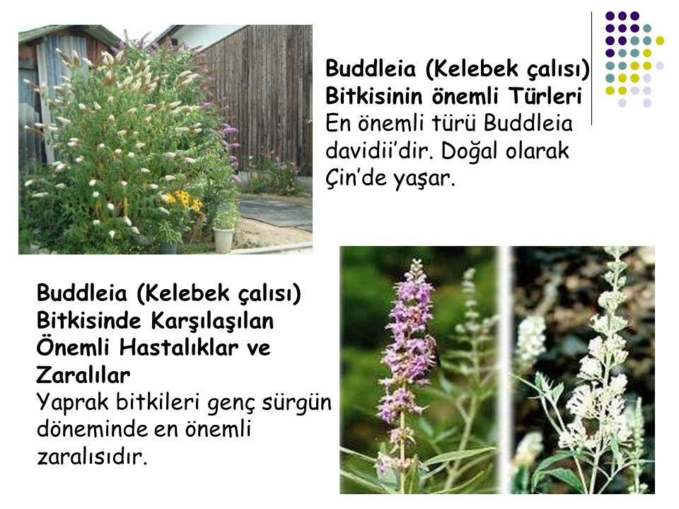 Buddleia (Kelebek çalısı) Bitkisinin önemli Türleri En önemli türü Buddleia davidii'dir. Doğal olarak Çin'de yaşar. Buddleia (Kelebek çalısı) Bitkisin