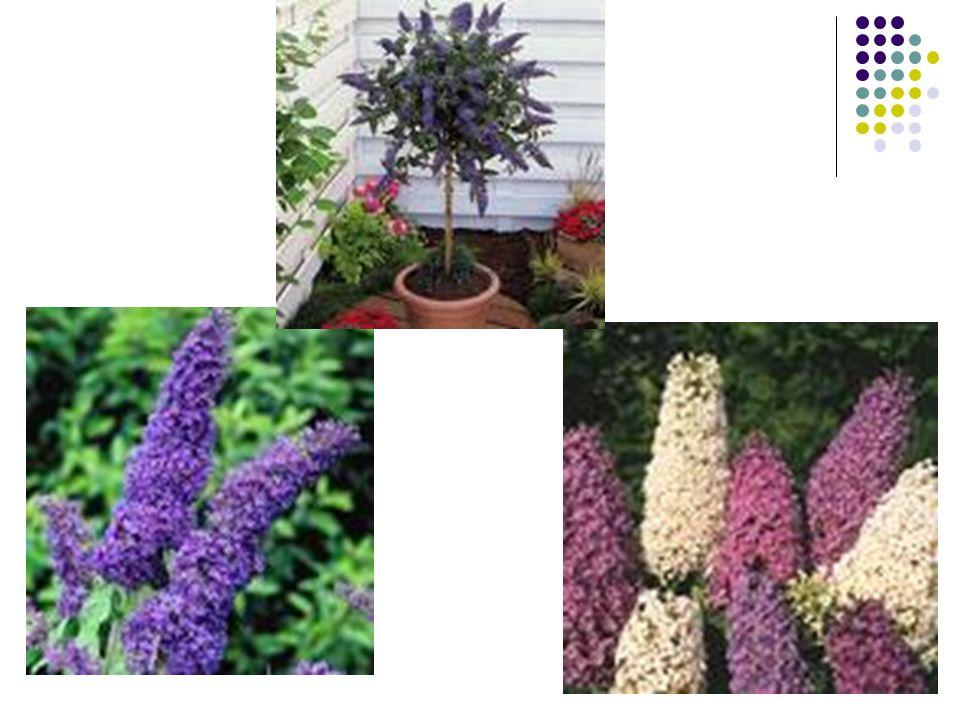 Buddleia (Kelebek çalısı) Bitkisinin önemli Türleri En önemli türü Buddleia davidii'dir.