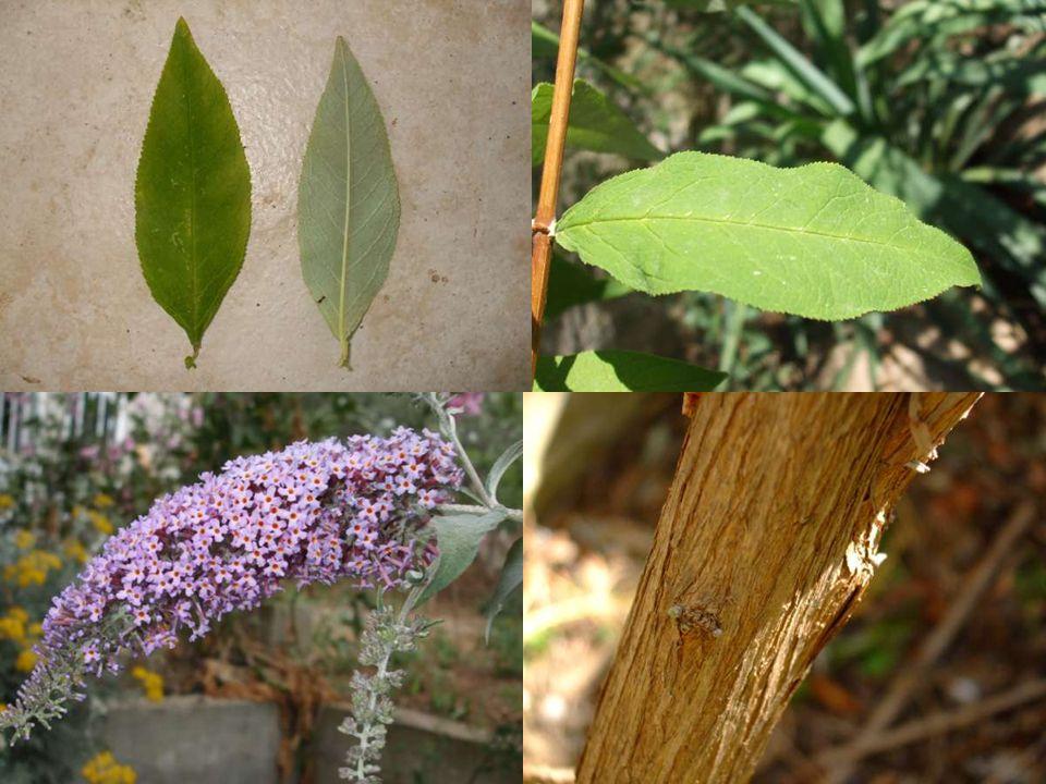 Bilimsel sınıflandırma Alem: Plantae Şube: Magnoliophyta Sınıf: Magnoliopsida Takım: Scrophulariaes Familya: Buddlejaceae Botanik Adı: Buddleia Türkçe Adı: Kelebek çalısı