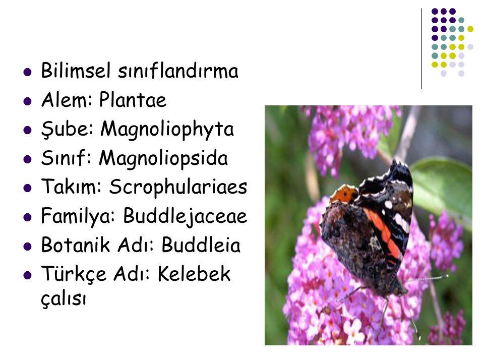 Bilimsel sınıflandırma Alem: Plantae Şube: Magnoliophyta Sınıf: Magnoliopsida Takım: Scrophulariaes Familya: Buddlejaceae Botanik Adı: Buddleia Türkçe