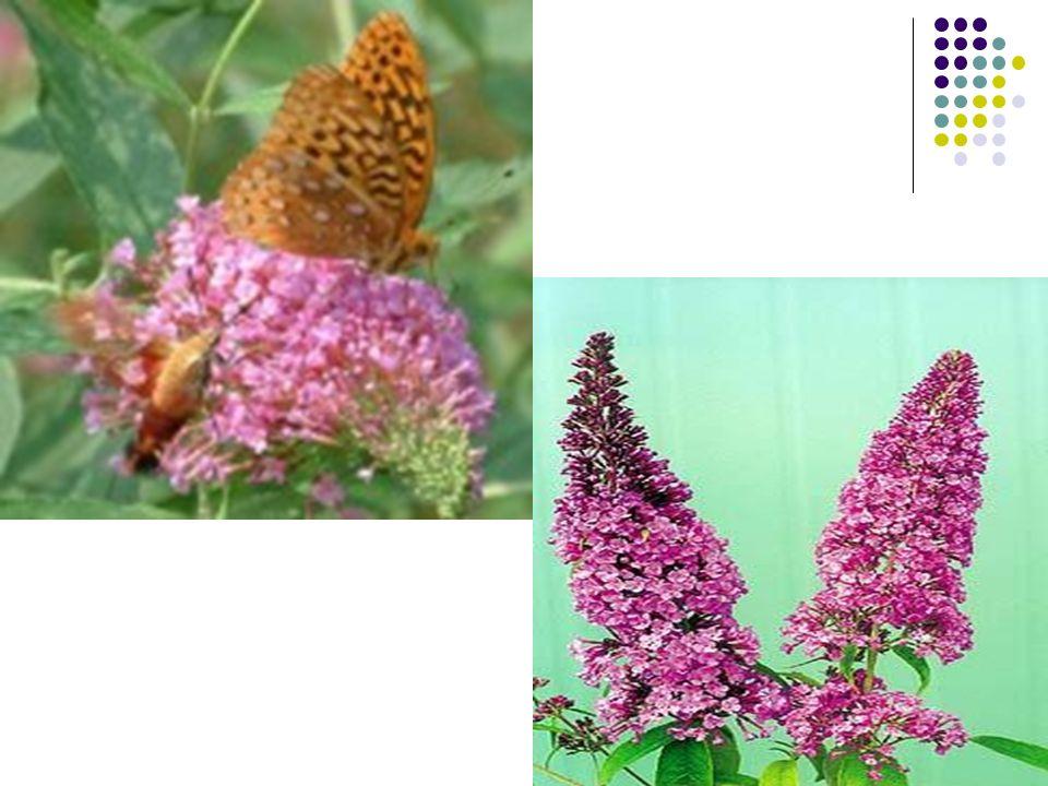 Buddleia davidii ( Kelebek Çalısı) Bitkisinin Ekolojik İstekleri Güneşli sıcak yerlerde, yamaçlarda ve ılıman kuşaklarda iyi gelişir.Soğuk iklim şartlarında kışın korumaya ihtiyaç duyar.Kuraklığa ise oldukça dayanıklıdır.Ancak ekstrem donlara karşı dayanıklıdır.