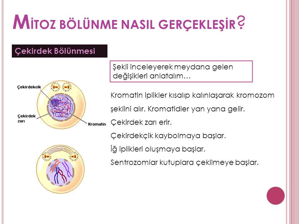 M İTOZ BÖLÜNME NASIL GERÇEKLEŞİR ? Çekirdek Bölünmesi Kromatin iplikler kısalıp kalınlaşarak kromozom şeklini alır. Kromatidler yan yana gelir. Çekird