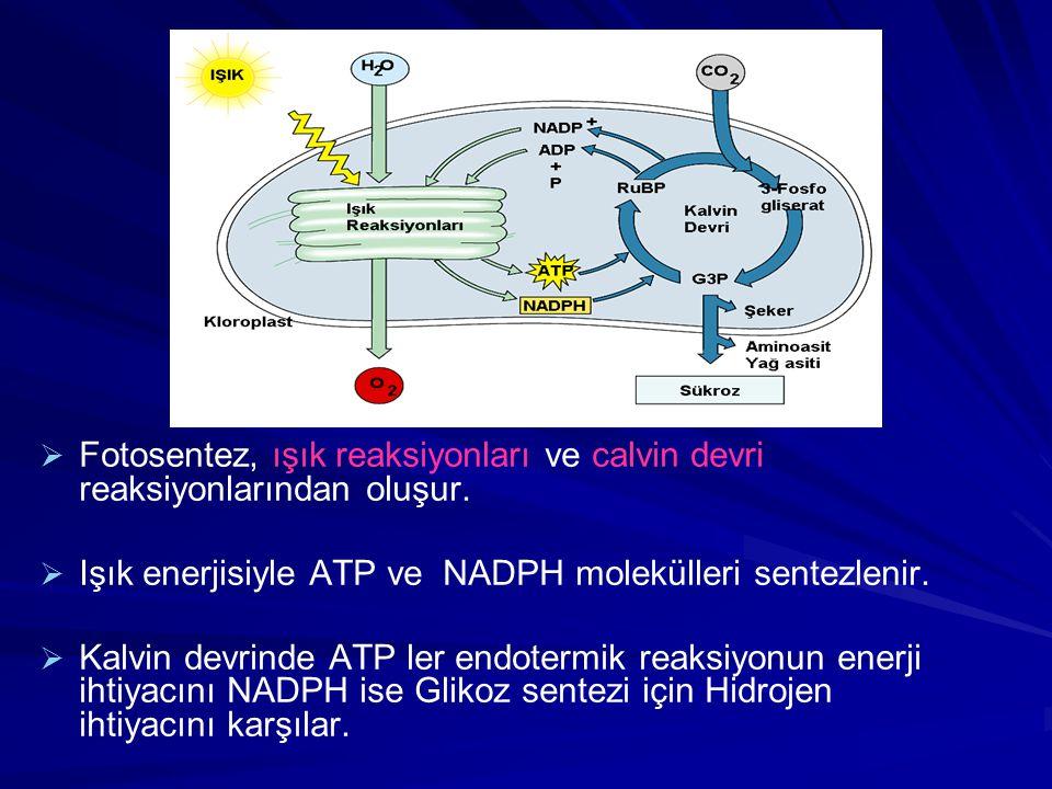   Fotosentez, ışık reaksiyonları ve calvin devri reaksiyonlarından oluşur.   Işık enerjisiyle ATP ve NADPH molekülleri sentezlenir.   Kalvin dev