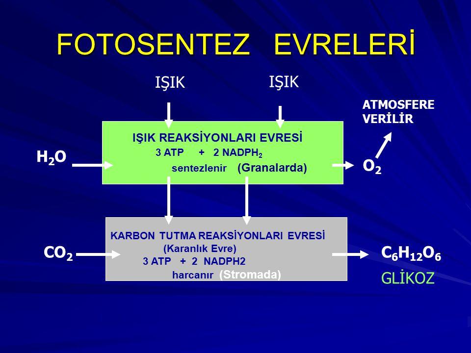 FOTOSENTEZ EVRELERİ IŞIK REAKSİYONLARI EVRESİ 3 ATP + 2 NADPH 2 sentezlenir (Granalarda) KARBON TUTMA REAKSİYONLARI EVRESİ (Karanlık Evre) 3 ATP + 2 N
