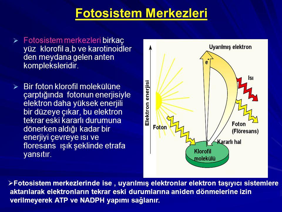  Fotosistem merkezlerinde ise, uyarılmış elektronlar elektron taşıyıcı sistemlere aktarılarak elektronların tekrar eski durumlarına aniden dönmelerin