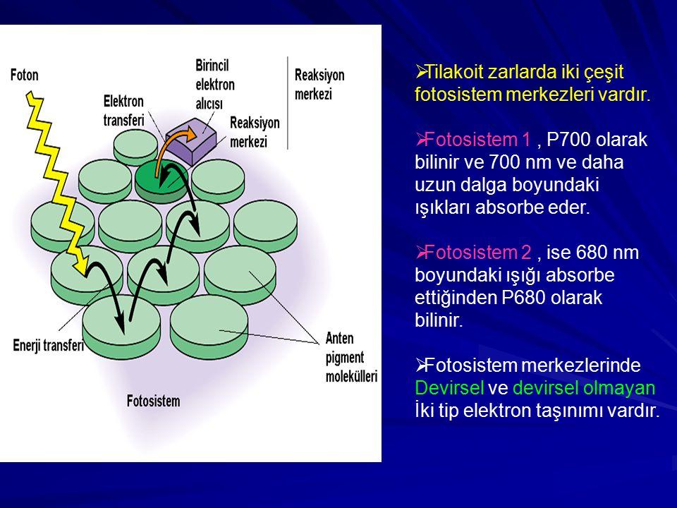  Tilakoit zarlarda iki çeşit fotosistem merkezleri vardır.  Fotosistem 1, P700 olarak bilinir ve 700 nm ve daha uzun dalga boyundaki ışıkları absorb