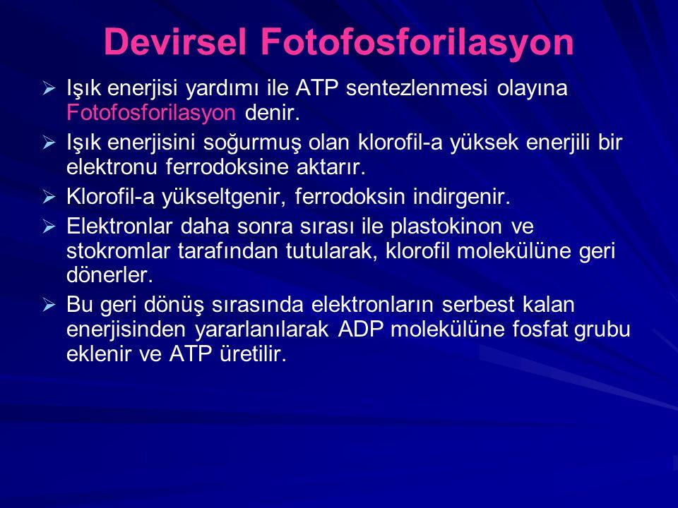 Devirsel Fotofosforilasyon   Işık enerjisi yardımı ile ATP sentezlenmesi olayına Fotofosforilasyon denir.   Işık enerjisini soğurmuş olan klorofil