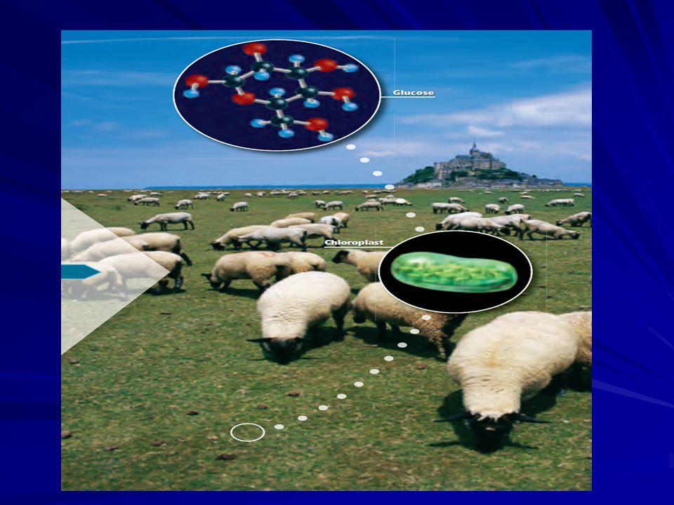 Mitokondri ve Kloroplast .