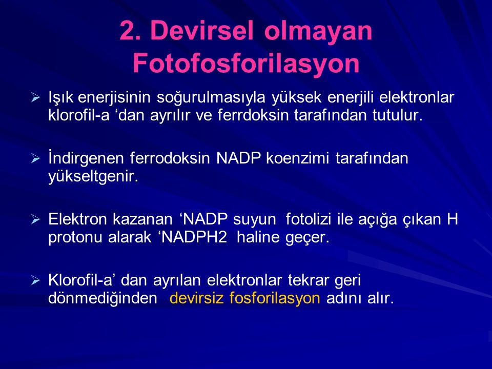 2. Devirsel olmayan Fotofosforilasyon   Işık enerjisinin soğurulmasıyla yüksek enerjili elektronlar klorofil-a 'dan ayrılır ve ferrdoksin tarafından