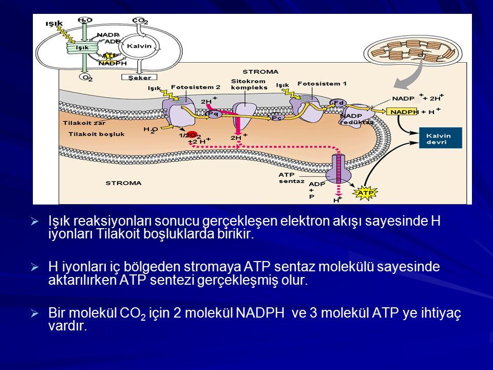   Işık reaksiyonları sonucu gerçekleşen elektron akışı sayesinde H iyonları Tilakoit boşluklarda birikir.   H iyonları iç bölgeden stromaya ATP se