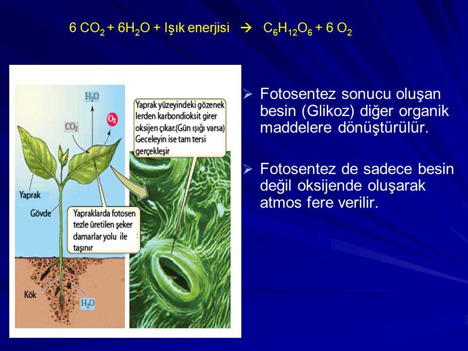 6 CO 2 + 6H 2 O + Işık enerjisi  C 6 H 12 O 6 + 6 O 2   Fotosentez sonucu oluşan besin (Glikoz) diğer organik maddelere dönüştürülür.   Fotosente