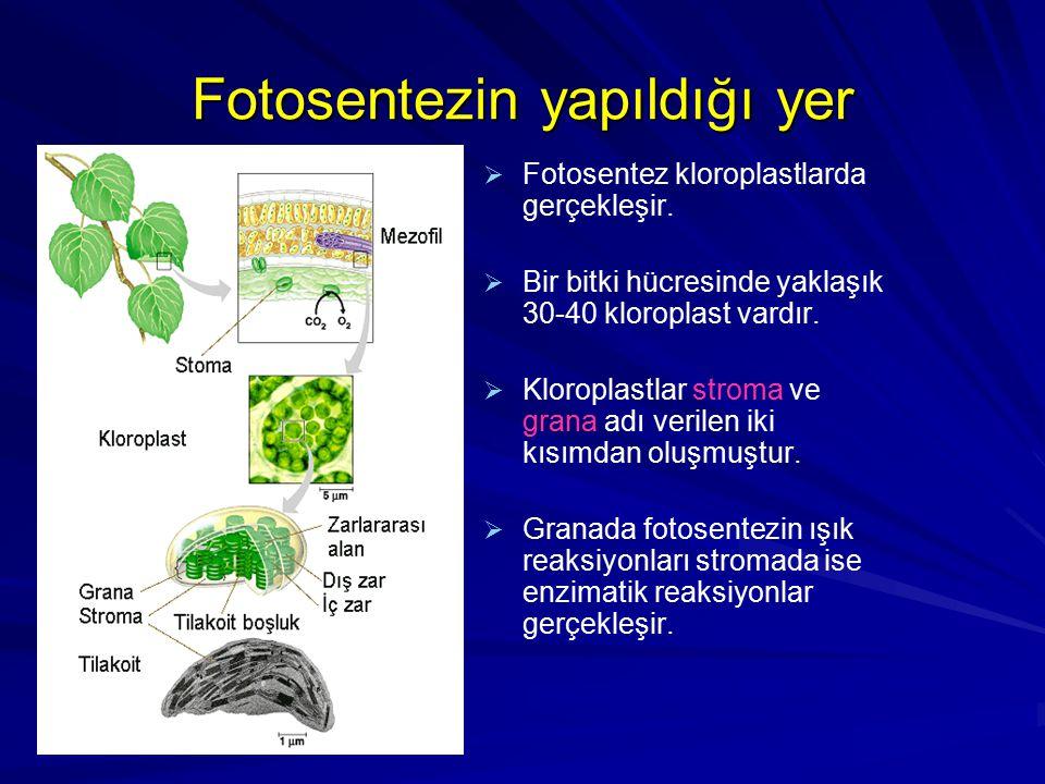 Fotosentezin yapıldığı yer   Fotosentez kloroplastlarda gerçekleşir.   Bir bitki hücresinde yaklaşık 30-40 kloroplast vardır.   Kloroplastlar st