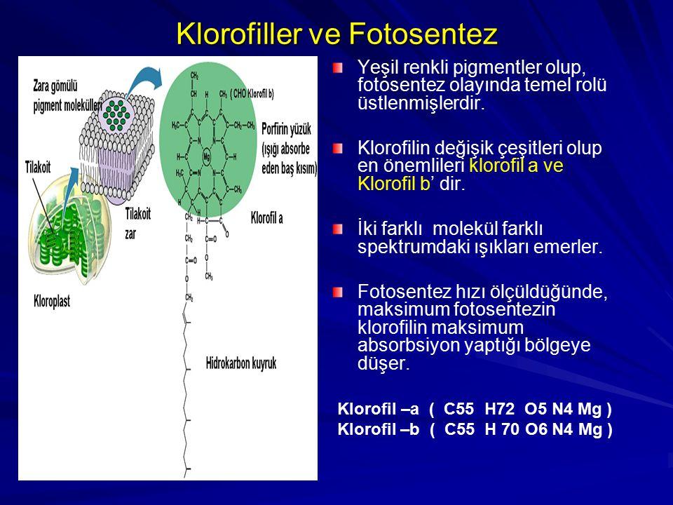 Klorofiller ve Fotosentez Yeşil renkli pigmentler olup, fotosentez olayında temel rolü üstlenmişlerdir. Klorofilin değişik çeşitleri olup en önemliler