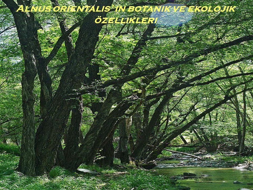 2) Alnus orientalis' in ekolojik özellikleri:  İklim(su, sıcaklık): Kızılağaç bir ışık bitkisidir.