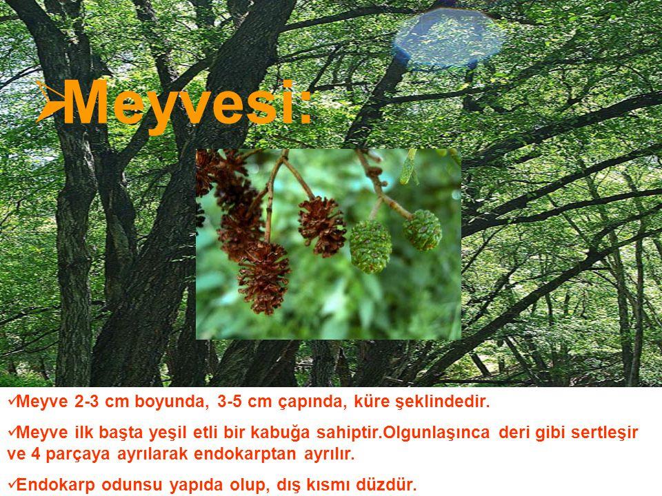  Meyvesi: Meyve 2-3 cm boyunda, 3-5 cm çapında, küre şeklindedir. Meyve ilk başta yeşil etli bir kabuğa sahiptir.Olgunlaşınca deri gibi sertleşir ve