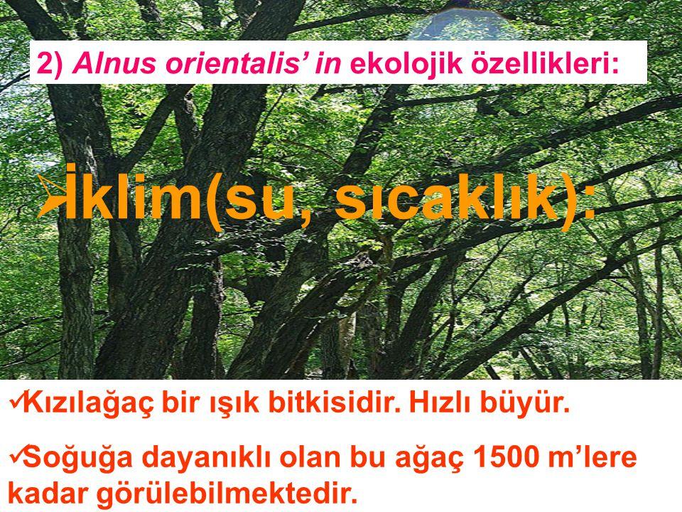 2) Alnus orientalis' in ekolojik özellikleri:  İklim(su, sıcaklık): Kızılağaç bir ışık bitkisidir. Hızlı büyür. Soğuğa dayanıklı olan bu ağaç 1500 m'