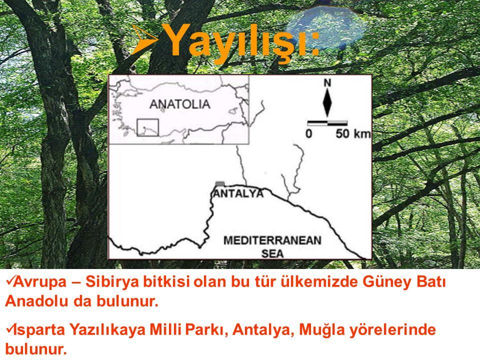  Yayılışı: Avrupa – Sibirya bitkisi olan bu tür ülkemizde Güney Batı Anadolu da bulunur. Isparta Yazılıkaya Milli Parkı, Antalya, Muğla yörelerinde b