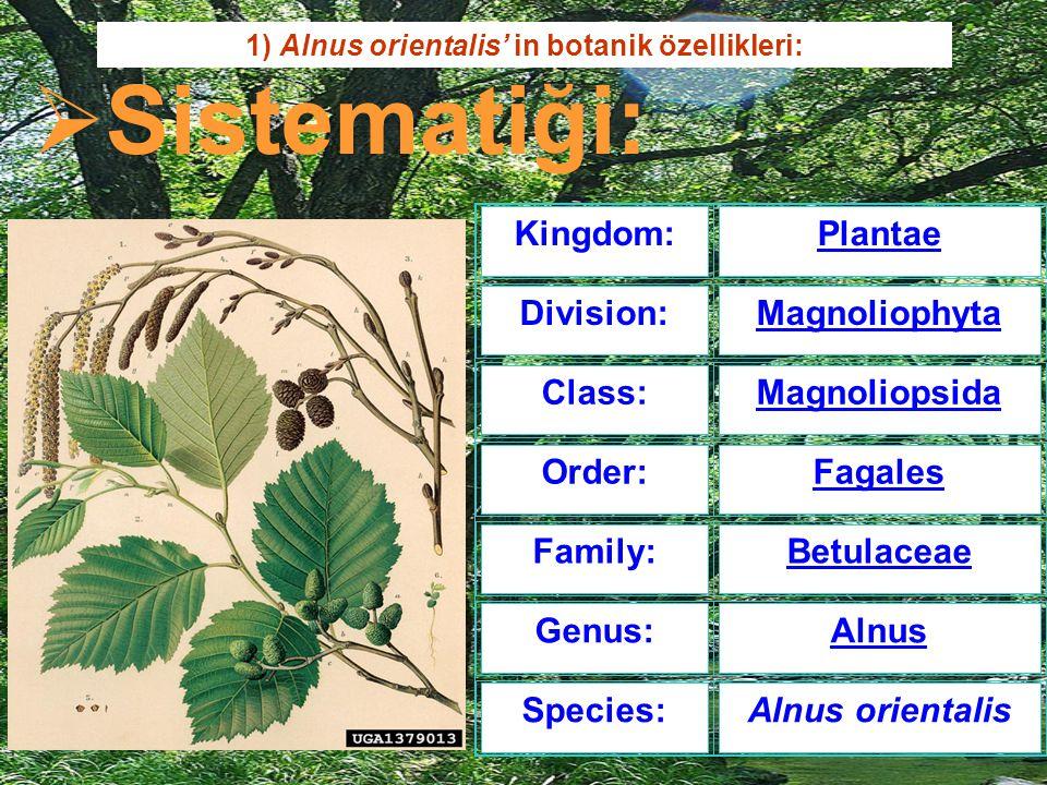 Kingdom:Plantae Division:Magnoliophyta Class:Magnoliopsida Order:Fagales Family:Betulaceae Genus:Alnus Species:Alnus orientalis 1) Alnus orientalis' i