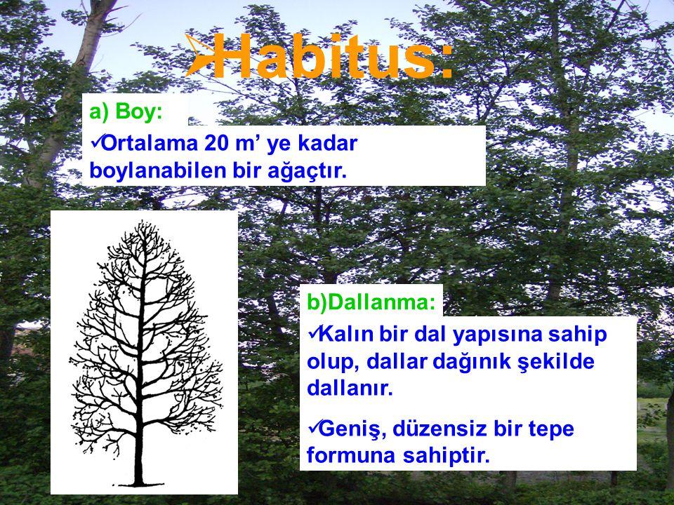  Habitus: a) Boy: Ortalama 20 m' ye kadar boylanabilen bir ağaçtır. b)Dallanma: Kalın bir dal yapısına sahip olup, dallar dağınık şekilde dallanır. G