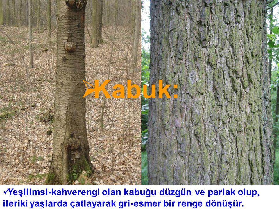 KAYNAKÇA: Ege Bölgesinde Doğal Yayılış Gösteren Ağaç Ve Çalılar Fotoğraflı Bitki Tanıma Kılavuzu Yazar : Cenk Durmuşkahya www.horh.ufl.edu/trees www.plants.usda.gov www.cnr.vt.edu/dendro/dendrology
