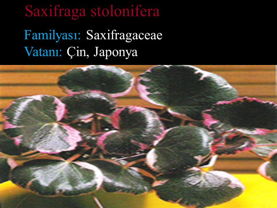 Familyası: Saxifragaceae Vatanı: Çin, Japonya