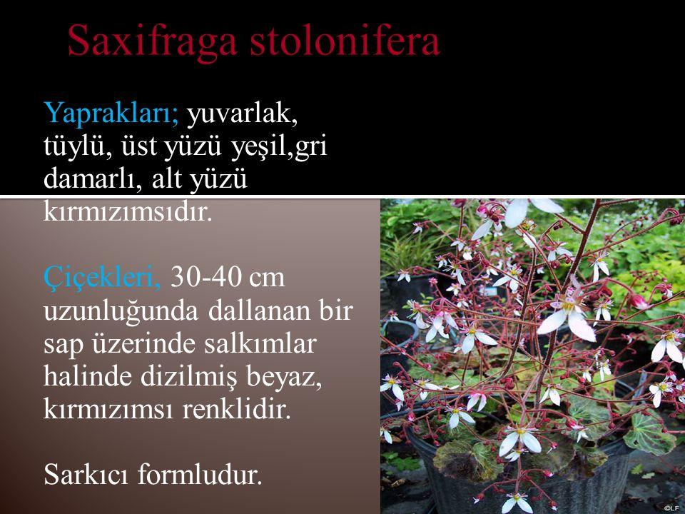 Yaprakları; yuvarlak, tüylü, üst yüzü yeşil,gri damarlı, alt yüzü kırmızımsıdır.