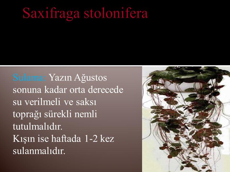 Budama: Kuruyan ve çürüyen yapraklar kesilip uzaklaştırılmalıdır.