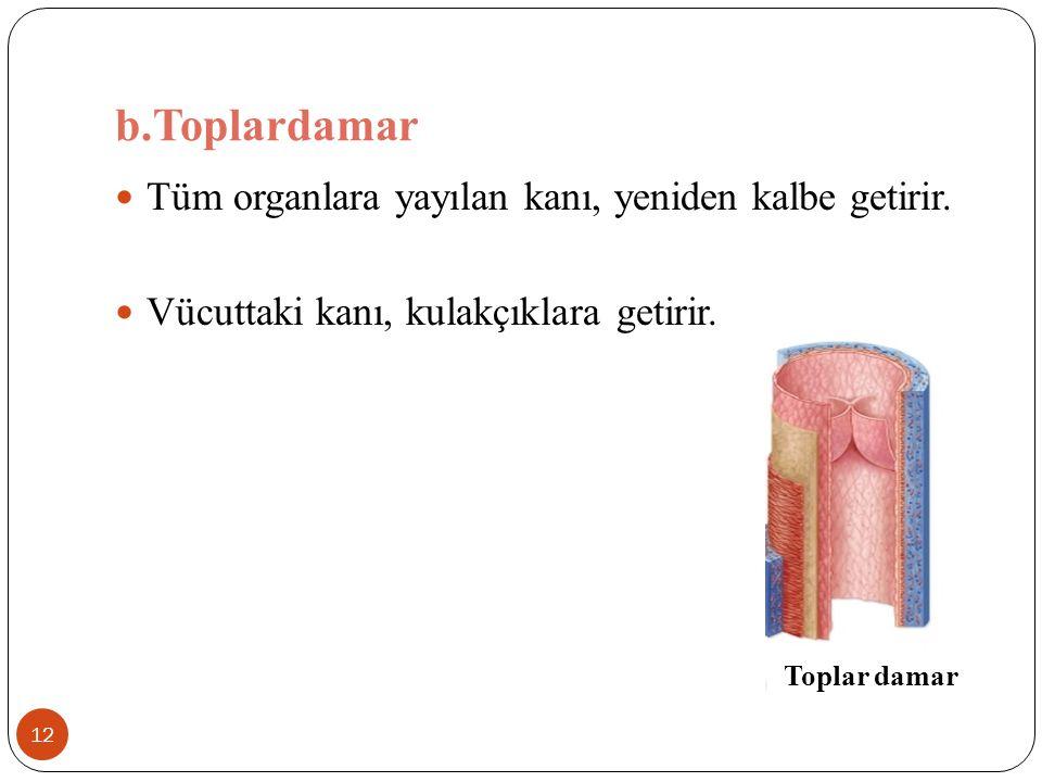 b.Toplardamar 12 Tüm organlara yayılan kanı, yeniden kalbe getirir. Vücuttaki kanı, kulakçıklara getirir. Toplar damar