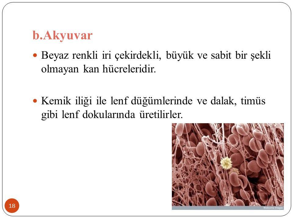 b.Akyuvar 18 Beyaz renkli iri çekirdekli, büyük ve sabit bir şekli olmayan kan hücreleridir. Kemik iliği ile lenf düğümlerinde ve dalak, timüs gibi le