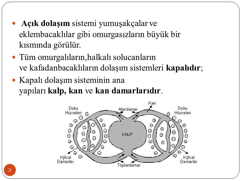 Kan Dolaşımı (1) 14 İnsanda; a.Küçük Kan Dolaşımı Sağ karıncıkta başlar, sol kulakçıkta biter.