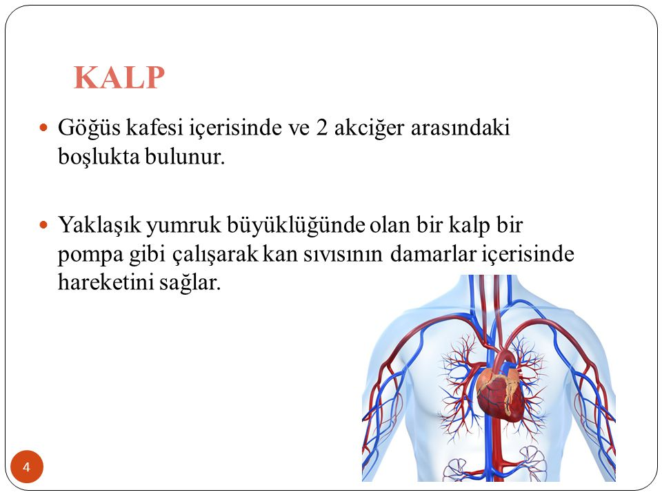 KALP 4 Göğüs kafesi içerisinde ve 2 akciğer arasındaki boşlukta bulunur. Yaklaşık yumruk büyüklüğünde olan bir kalp bir pompa gibi çalışarak kan sıvıs