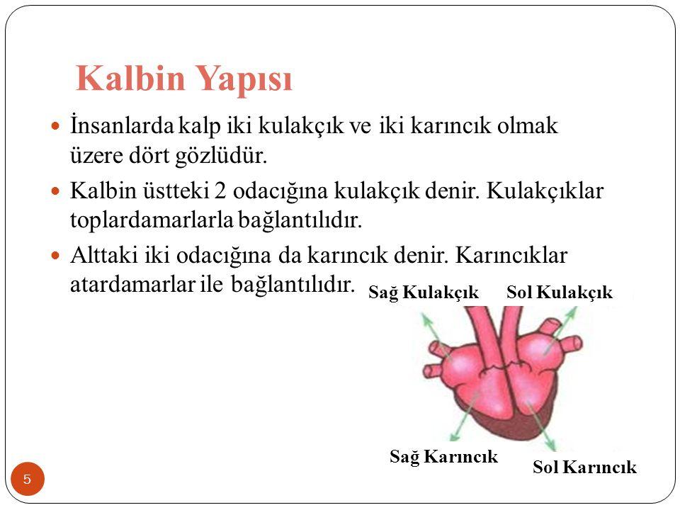 Kalbin Yapısı 5 İnsanlarda kalp iki kulakçık ve iki karıncık olmak üzere dört gözlüdür. Kalbin üstteki 2 odacığına kulakçık denir. Kulakçıklar toplard