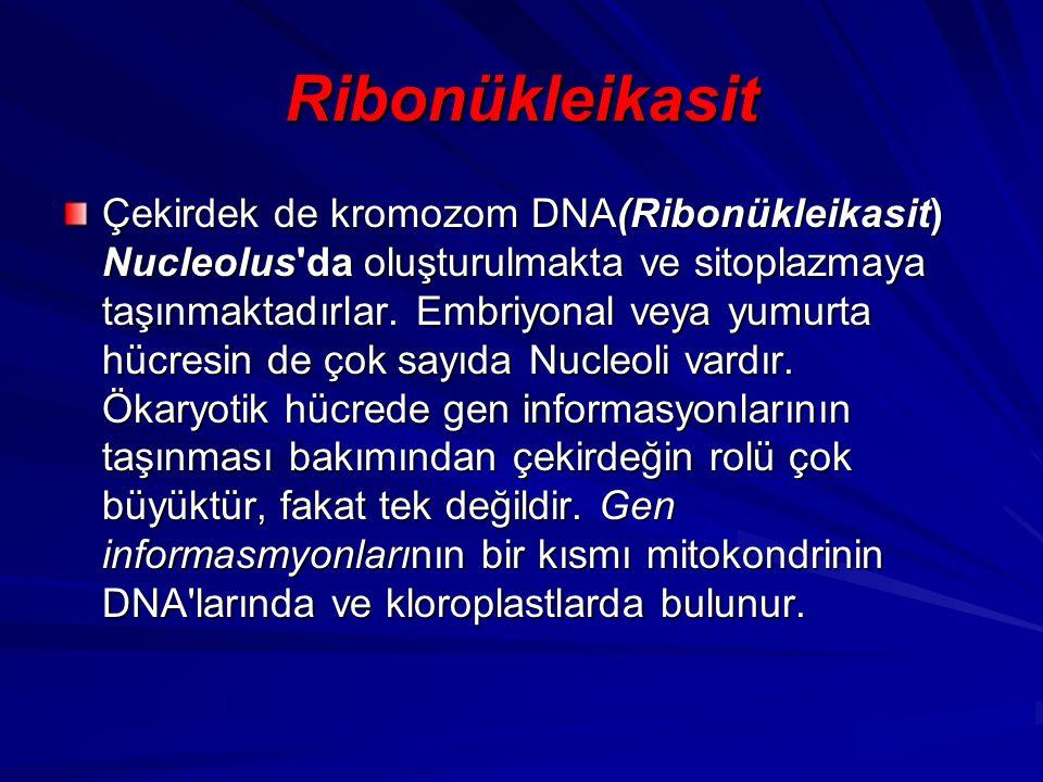 Ribonükleikasit Çekirdek de kromozom DNA(Ribonükleikasit) Nucleolus'da oluşturulmakta ve sitoplazmaya taşınmaktadırlar. Embriyonal veya yumurta hücres