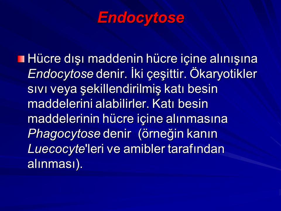 Endocytose Hücre dışı maddenin hücre içine alınışına Endocytose denir. İki çeşittir. Ökaryotikler sıvı veya şekillendirilmiş katı besin maddelerini al