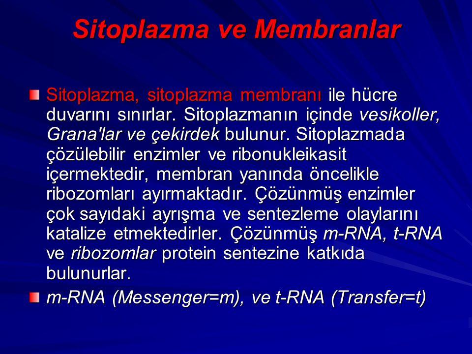 Sitoplazma ve Membranlar Sitoplazma, sitoplazma membranı ile hücre duvarını sınırlar. Sitoplazmanın içinde vesikoller, Grana'lar ve çekirdek bulunur.