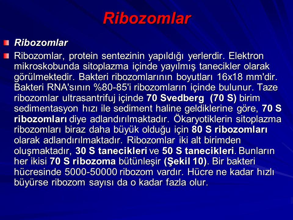 Ribozomlar Ribozomlar Ribozomlar, protein sentezinin yapıldığı yerlerdir. Elektron mikroskobunda sitoplazma içinde yayılmış tanecikler olarak görülmek