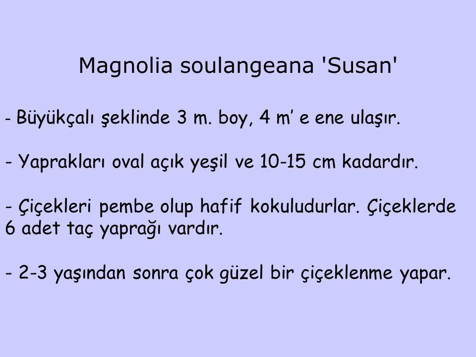 Magnolia soulangeana 'Susan' - Büyükçalı şeklinde 3 m. boy, 4 m' e ene ulaşır. - Yaprakları oval açık yeşil ve 10-15 cm kadardır. - Çiçekleri pembe ol